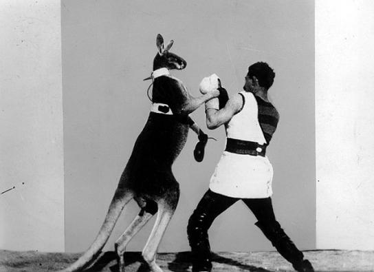das boxende Känguru
